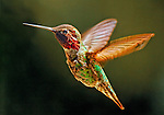 Birds - Hummingbird in the Backyard, Newport Beach, California. Photo by Alan Mahood.
