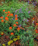 Wallowa County, OR  <br /> Ground detail of paintbrush (Castilleja spp) and lupine (Lupinus spp) on a ponderosa forest near Trail Creek; Zumwalt Prairie, a Nature Conservancy Preserve