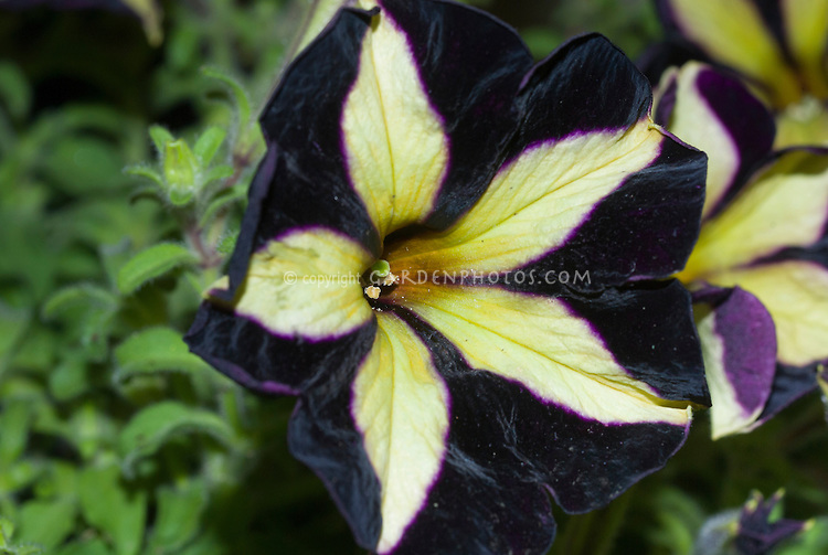 Petunia black velvet plant flower stock photography petunia phantom black flowers with yellow stripes new variety very dark with star effect mightylinksfo