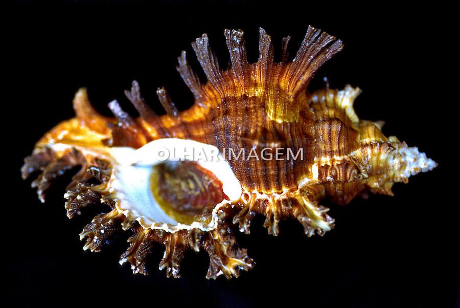 Concha marinha. Foto Manuel Lourenço