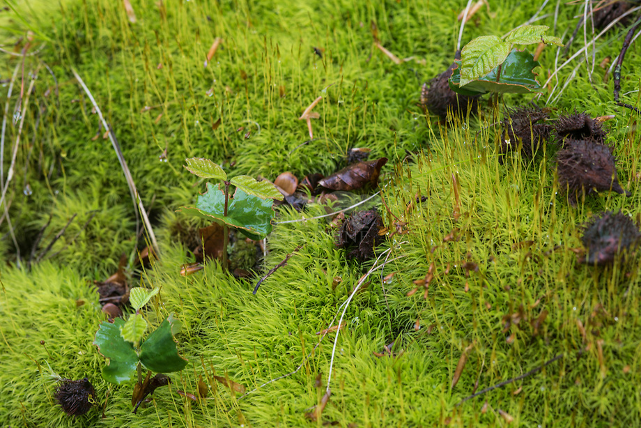 Beuk (Fagus sylvatica), kiemplant in mos
