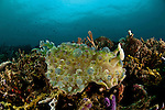 Big nudibranch (Dendrodoris tuberculosa) on the reef.