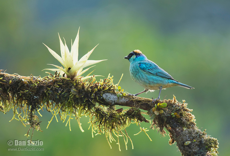Golden-naped tanager, Tangara ruficervix, Tandayapa Valley, Ecuador