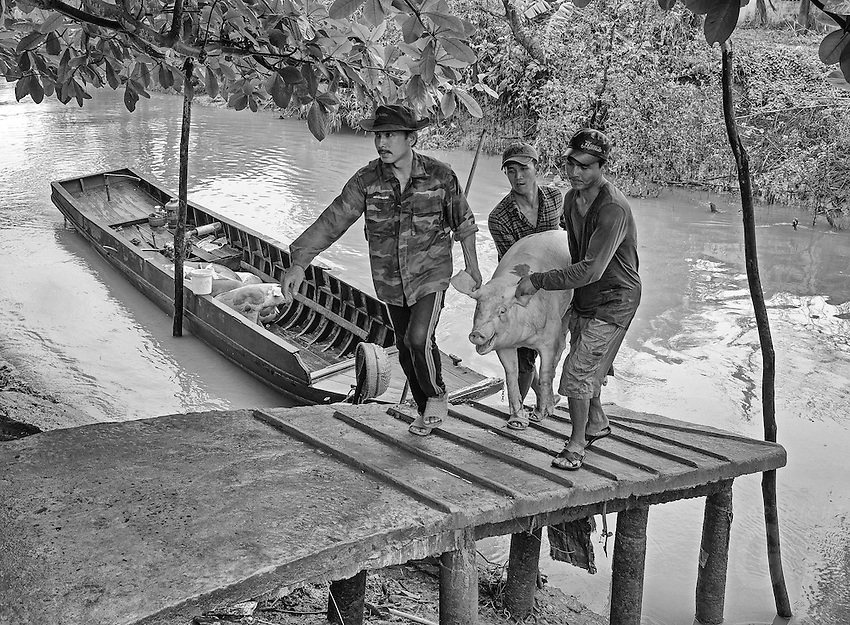 """Transporting Pigs by boat north of Can Tho, the hub of the Mekong Delta (Vietnamese: Đồng bằng Sông Cửu Long """"Nine Dragon river delta""""), also known as the Western Region (Vietnamese: Miền Tây or the South-western region (Vietnamese: Tây Nam Bộ) is the region in southwestern Vietnam where the Mekong River approaches and empties into the sea through a network of distributaries. The Mekong delta region encompasses a large portion of southwestern Vietnam of 39,000 square kilometres (15,000sqmi). The size of the area covered by water depends on the season.<br /> The Mekong Delta has been dubbed as a """"biological treasure trove"""". Over 1,000 animal species were recorded between 1997 and 2007 and new species of plants, fish, lizards, and mammals has been discovered in previously unexplored areas, including the Laotian rock rat, thought to be extinct."""