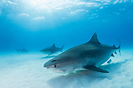 Tiger Beach, Grand Bahama Island, Bahamas; a pair of large, female tiger sharks and a great hammerhead shark swimming over the shallow, sandy bottom at Tiger Beach, with sun rays streaming in from above