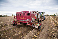Windrowing Maris Piper potatoes - Lincolnshire, October