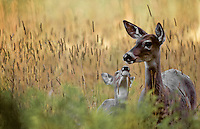 Whitetail Deer with fawn, Glacier National Park, Montana