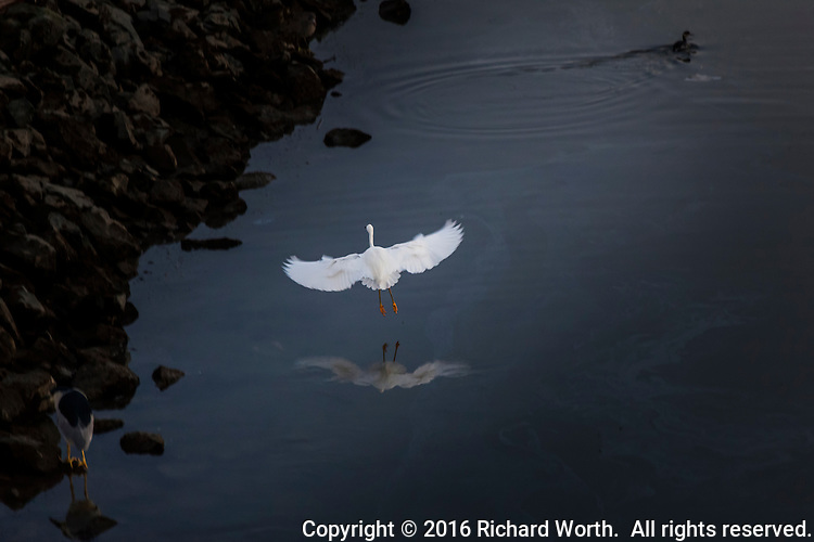 A Snowy egret is captured mid-air with wings spread wide and its Golden Slippers, its yellow feet, trailing behind, while a Black-crowned night heron waits for dinner on the lower left shoreline, and a grebe pops up after poking around under the surface of the San Leandro Marina on San Francisco Bay.