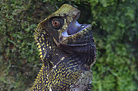 Helemted  Iguana, Helmeted Basilsk; Corytophanes cristatus; on tree  trunk in rain forest; sit and wait predator; threat display; Panama