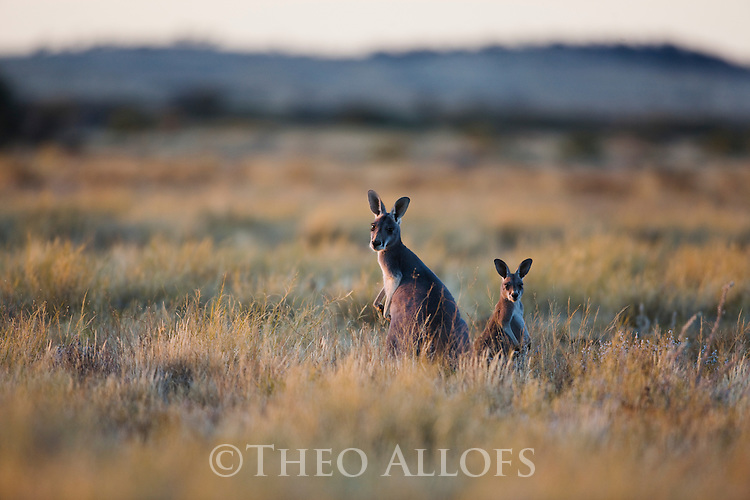 Australia,  NSW, Sturt National Park; red kangaroos (Macropus rufus) in grassland; the red kangaroo population increased dramatically after the recent rains in the previous 3 years following 8 years of drought