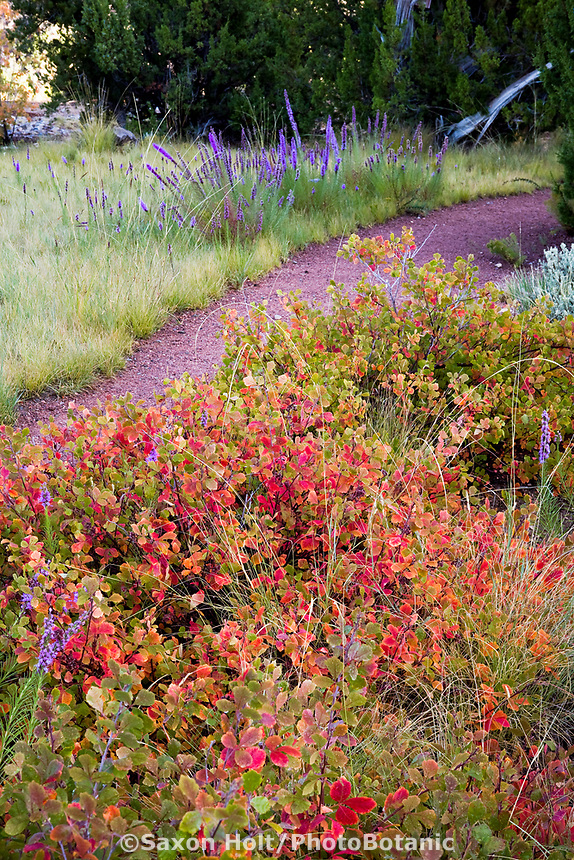 Rhus aromatica 'Gro-lo', Fragrant Sumac with red fall color in New Mexico meadow garden as drought tolerant groundcover spreading shrub