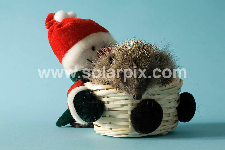 **ALL ROUND PICTURES FROM SOLARPIX.COM**.WORLDWIDE SYNDICATION RIGHTS EXCLUDING - .UK NEWSPAPER PUBLICATION - UK MAGAZINE PUBLICATION ONLY AND NO PUBLICATION IN FRANCE, SCANDINAVIA, AUSTRALIA AND GERMANY** ..A rescued hedgehog named Holly  sits inside a Santa Claus basket at St Tiggywinkles animal hospital in Buckinghamshire..DATE: 14/12/2006-JOB REF: 3166-SFE.**MUST CREDIT SOLARPIX.COM OR DOUBLE FEE WILL BE CHARGED**