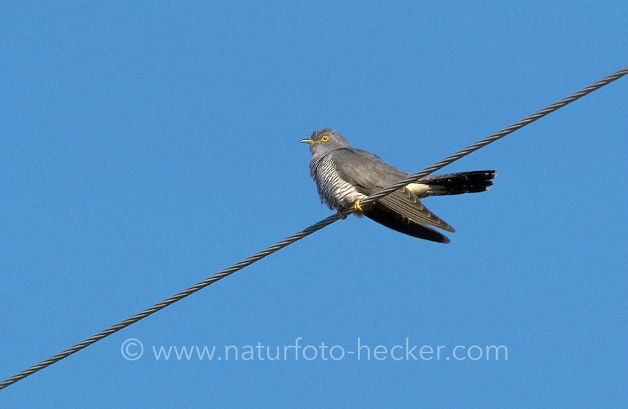Kuckuck, Männchen, Cuculus canorus, Cucullus canorus, cuckoo