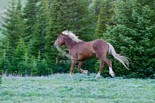 Wild Horse or feral horse (Equus ferus caballus) stallion running through subalpine meadow.  Western U.S., summer.