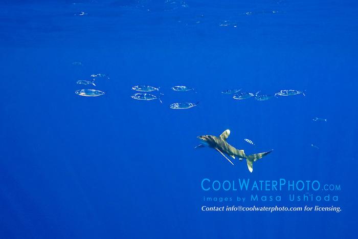 schooling pompano dolphins, Coryphaena equiselis, and oceanic whitetip shark, Carcharhinus longimanus, with a pilot fish, Naucrates ductor, Kona Cost, Big Island, Hawaii, USA, Pacific Ocean