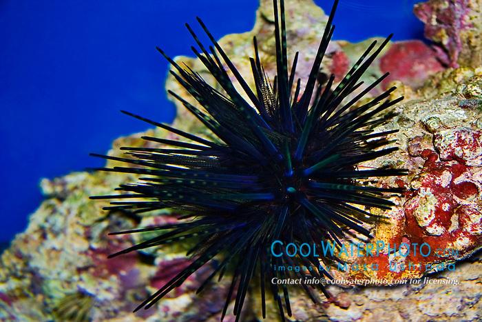 blue-black sea urchin, Echinothrix diadema, juvenile, venomous, Indo-Pacific Ocean (c)