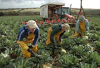 Picking Nomad cauliflowers.
