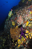 RM1002-D. large sea star (Linckia sp.) and sea fan (Muricea sp.?) along reef wall covered with barnacles, sponges and cup corals (Tubastraea coccinea), with Redtail Triggerfish (Xanthichthys mento) above. Baja, Mexico, Pacific Ocean.<br /> Photo Copyright &copy; Brandon Cole. All rights reserved worldwide.  www.brandoncole.com