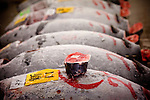 Tokyo, 1st of March 2010 - Tuna at Tsukiji wholesale fish market, biggest fish market in the world. 5 a.m, frozen tunas before the auctions. A part of the tail is cut to be scrutinized. The whiter the flesh is, the better the tuna is.