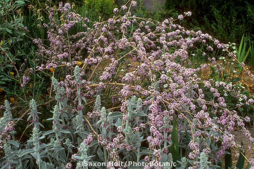 Buddleja alternifolia, flowering (Fountain Butterfly Bush) with Stachys in garden