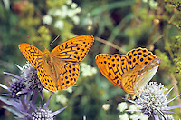 Kaisermantel, Silberstrich, Männchen, Argynnis paphia, Silver-washed fritillary, male, Le Tabac d'Espagne, Edelfalter, Nymphalidae