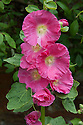 Althaea (Hollyhock), mid July.