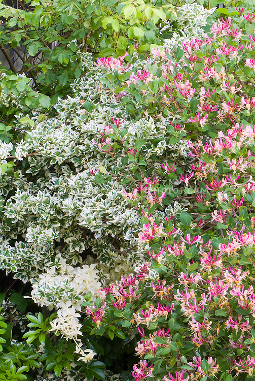 Euonymus fortunei 'Silver Queen' shrub bush and Lonicera periclymenum honeysuckle climbing vine, planted together