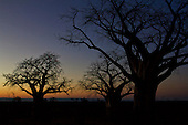Sacred Baobabs of Chitake, in Mana Pools, silhouetted against an African winters sky