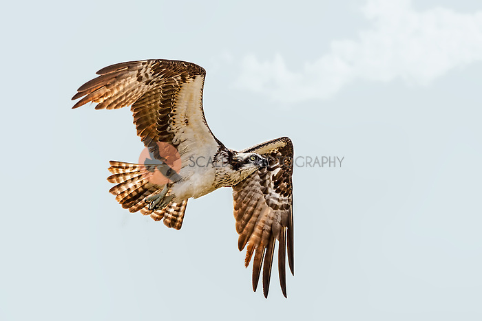 An Osprey in flight after an unsuccessful dive for food