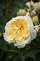 Rosa The Pilgrim ('Auswalker'), early June. A modern shrub rose whose inner petals are pale yellow, the outer almost white. Bred by David Austin from 'Graham Thomas' and 'Yellow Button', and introduced in 1991.