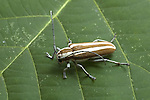 Round-headed Apple Tree Borer, Saperda candida