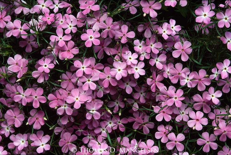 The intense purple of phlox colors the hillsides and canyon floors of Zion National Park in southern Utah.