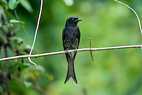 Black drongo (Dicrurus macrocercus) is a small Asian passerine bird of the drongo family Dicruridae. It is a common resident breeder in much of tropical southern Asia from southwest Iran through India and Sri Lanka east to southern China and Indonesia. Sinharaja Forest Reserve - Sri Lanka.