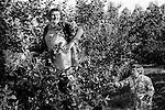Casual seasonal fruit picking Wisbech Cambridgeshire UK. Apple picking.