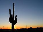 AJ Alexander - The magnficent Saguaro Cactus, Carnegiea gigantea-(Cereus giganteus) symbol of the Desert Southwest..Photo by AJ Alexander