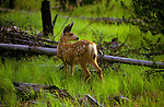 A fawn stands in the green grass of a lodge pole forest in Yellowstone National Park, Wyoming.