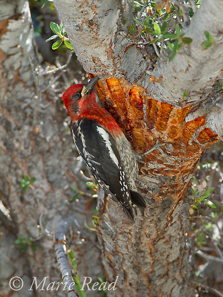 Red-breasted Sapsucker (Sphyrapicus ruber) feeding feeding on shallow sap at wells it has drilled in bark of Curl-leaf Mountain-mahogany (Cercocarpus ledifoius), Lee Vining Canyon, California, USA