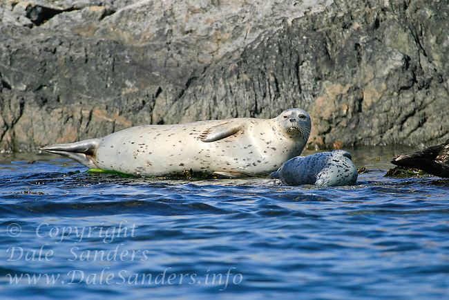 Harbour Seals (Phoca vitulina) and thier pups, in the Discovery Islands off Victoria, British Columbia, Canada.