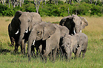 Elephants grazing on the plain in Africa.