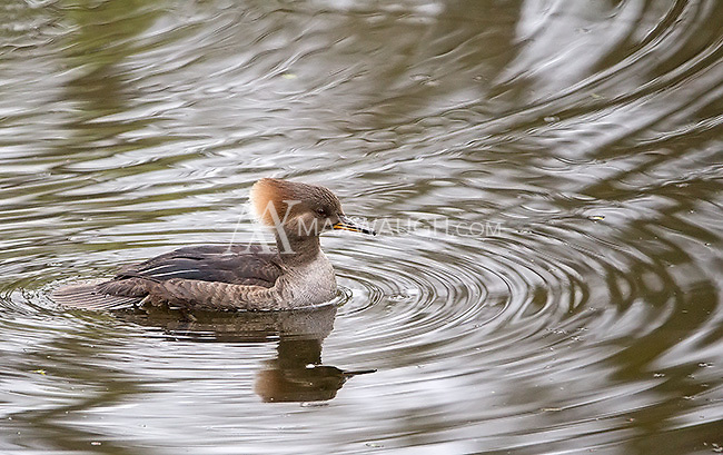 Hooded mergansers are often seen at Nisqually Wildlife Refuge.