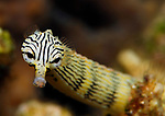 Striped Pipefish , Network Pipefish, Corythoichthys flavofasciatus, Lembeh Straits, Sulawesi Sea, Indonesia, Amazing Underwater Photography