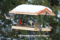 00585-037.07 Northern Cardinal,  Northern Flicker, American Goldfinches, & American Tree Sparrow on platform tray feeder, Marion Co. IL
