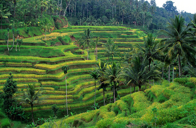 INDONESIA, BALI, TERRACED RICE FIELDS