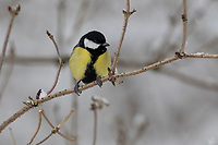 Kohlmeise, im Winter bei Schnee aufgeplustert, Kohl-Meise, Meise, Meisen, Parus major, Great tit, tit, tits, La Mésange charbonnière