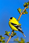 Male American Goldfinch, Carduelis tristis