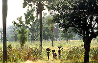 Millet plantation  in association with  Adansonia digitata, Borassus Aethiopum; Mangifera indica.
