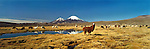 Alpacas and Llamas in the Chilean Altiplano. South America
