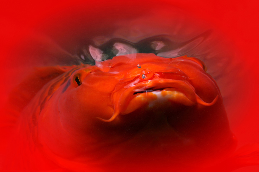 Koi were developed from common carp in ancient China during the Jin Dynasty and were later transferred to Korea and Japan, where they are still popular as a symbol of love and friendship. A variety of colors and color patterns have since been developed. Did I say they come in a variety of colors? ;)