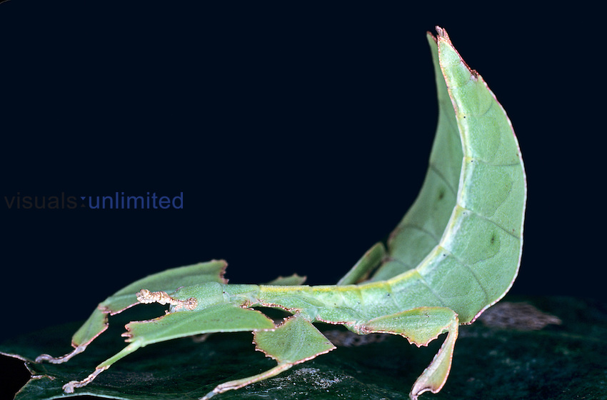 The Java Walking Leaf (Phyllium bioculatum) shows morphological adaptations such as an extreme flattening of the body and legs that have evolved with foliaceous projections. This unusual Walking Stick moves in a slow, weaving manner which is a behavioral adaptation that enhances its disguise, Indonesia.