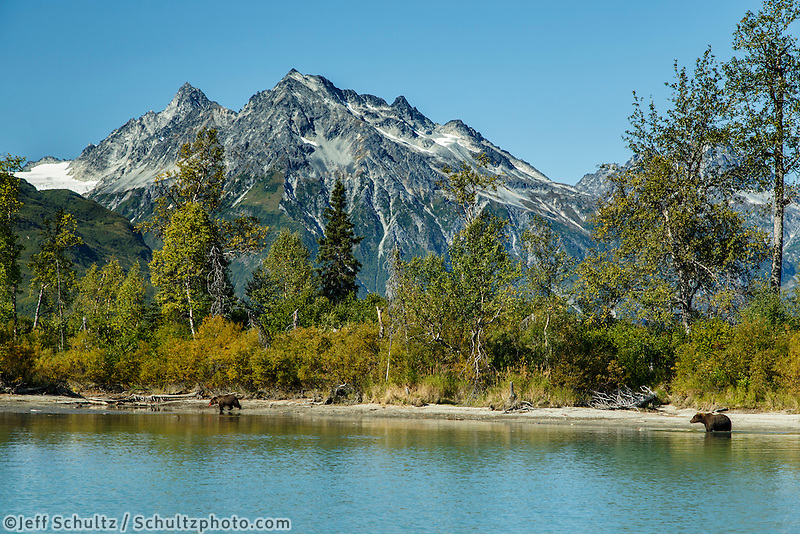 Grizzly bear at Crescent Lake in Lake Clark National Park .  Chigmit Mountains  early fall landscape.  2015  Alaska